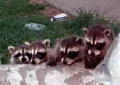 racoons1